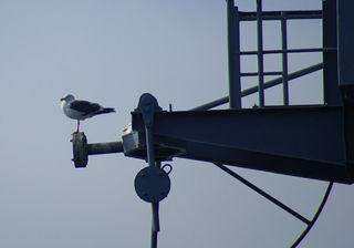 11-08 seagull