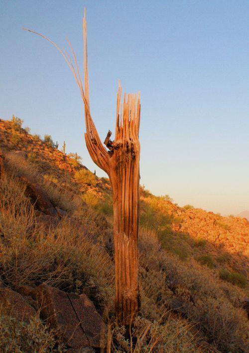 03_09 dead cactus