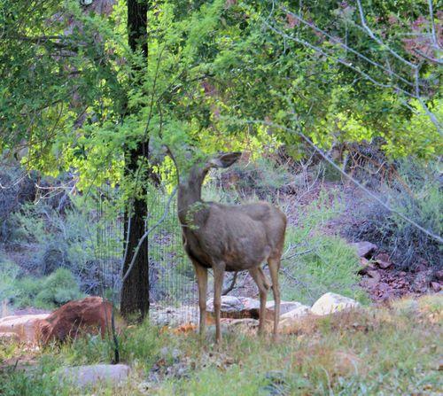 20 thumb 04_24_09 mule deer at camp