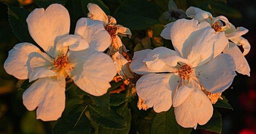 08_09 thumb louisville white flowers