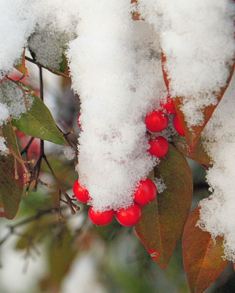 02_10 thumb snow berries