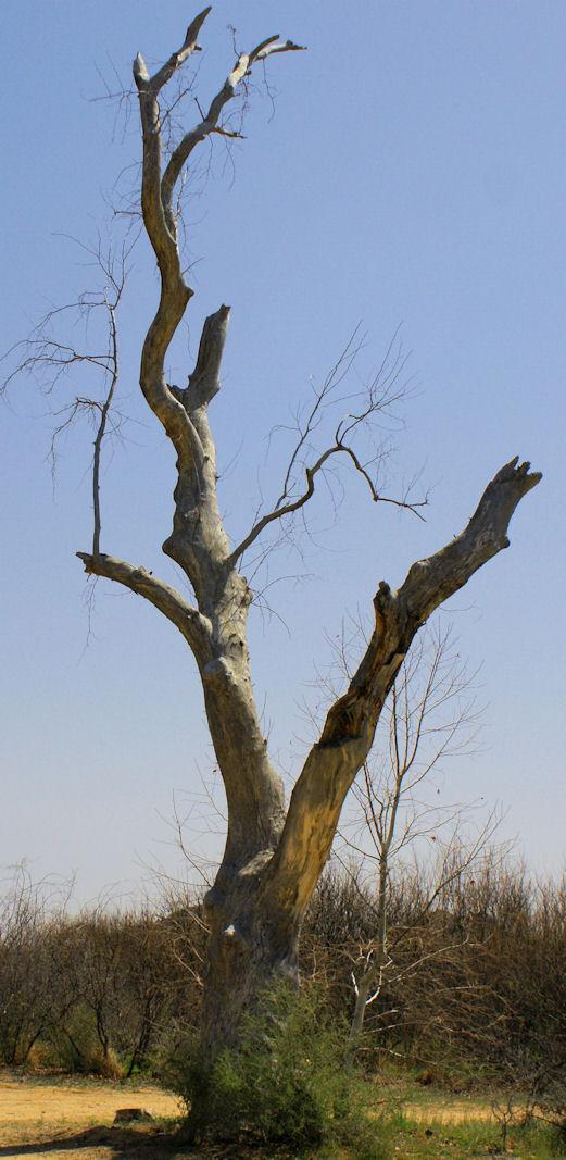 03_10 thumb dead tree