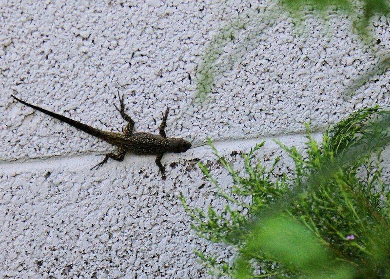 06_10 lizard 1