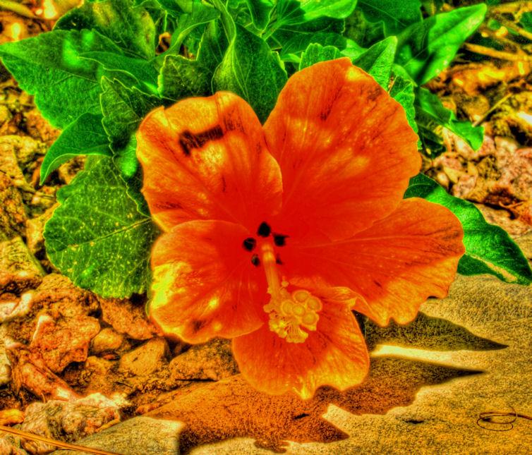 04_11 orange flower thumb DSC00956_7_8_tonemapped grunge adj