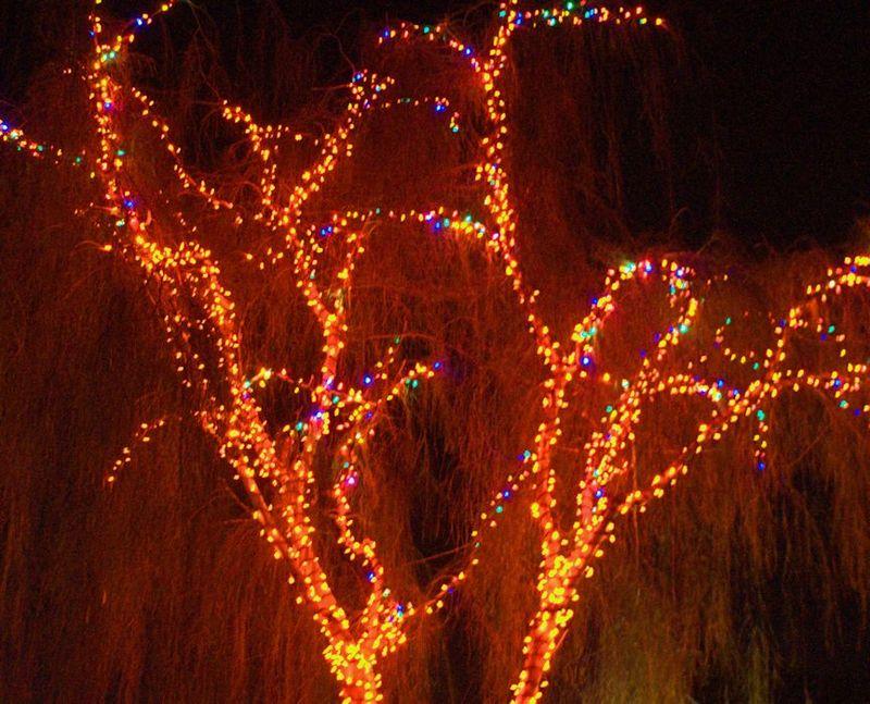 12_12 thumb willow tree DSC07399 -1