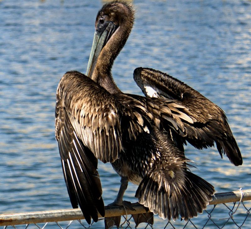 02_15 brown pelican DSC01467 -1
