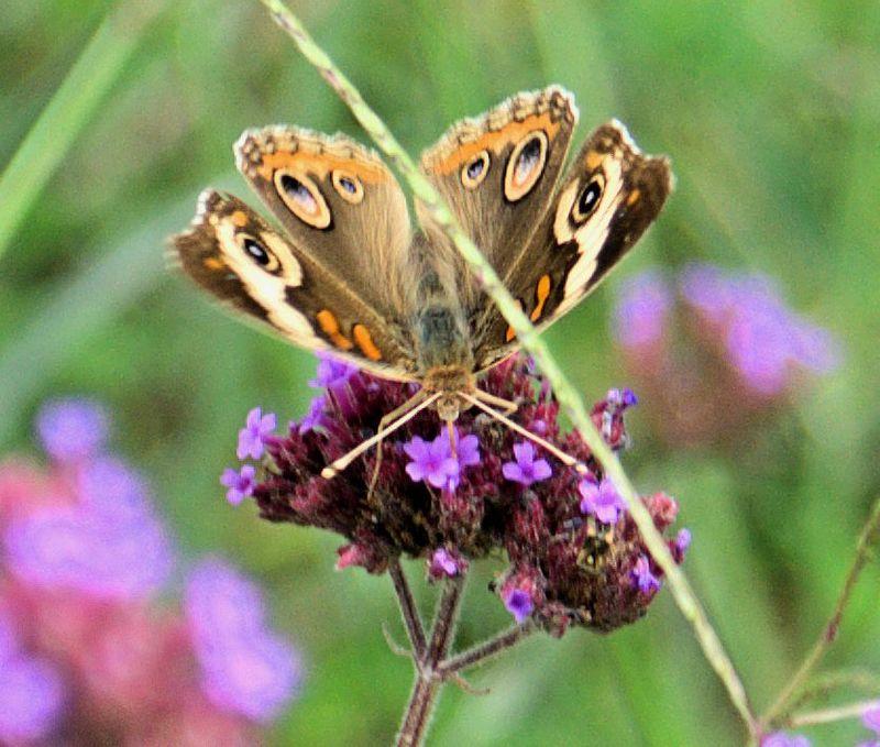 08_14 butterfly 1 DSC00565 -1