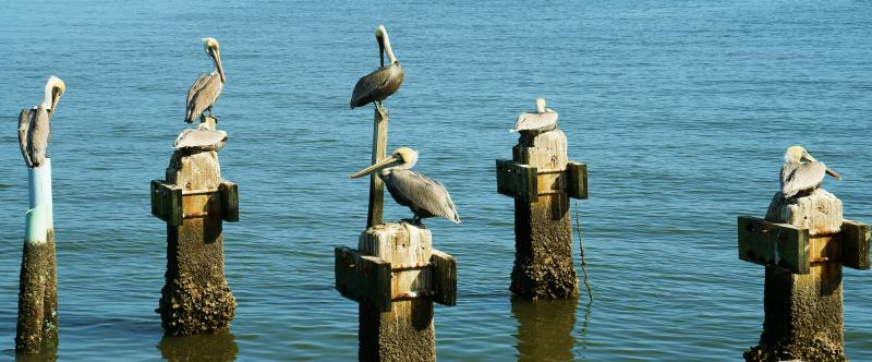01_20 cedar key pelicans DSC05385