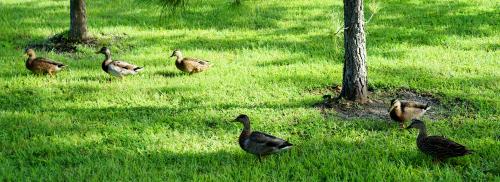 09_20 ducks 1 DSC05522