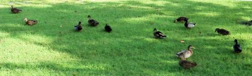 09_20 ducks 2 DSC05526