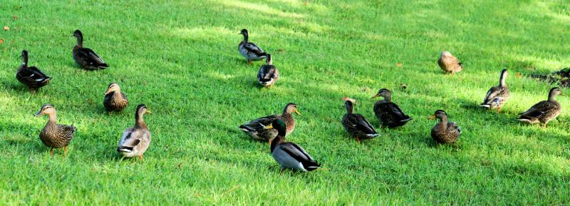 09_20 ducks 3 DSC05535