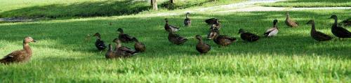09_20 ducks 5 DSC05544