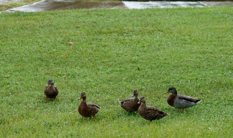 09_20 ducks 10 DSC05576