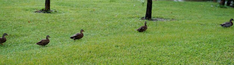 09_29 ducks 11 DSC05577
