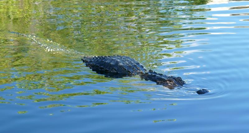 11_20 gater swimming DSC06128