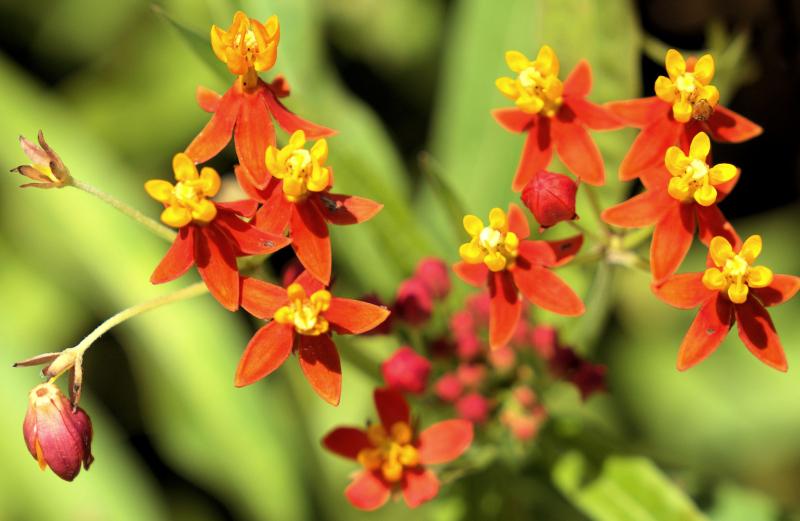 06_21 aplalach flowers little red DSC06794 -1