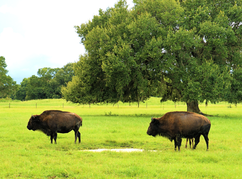 08_21 river ranch two buffalo DSC06967 -1