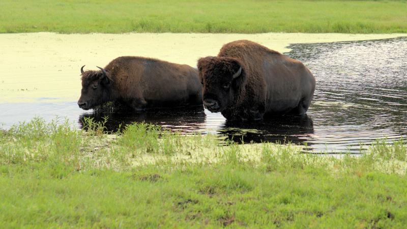 08_21 river ranch water buffalo 2 DSC06954 -1