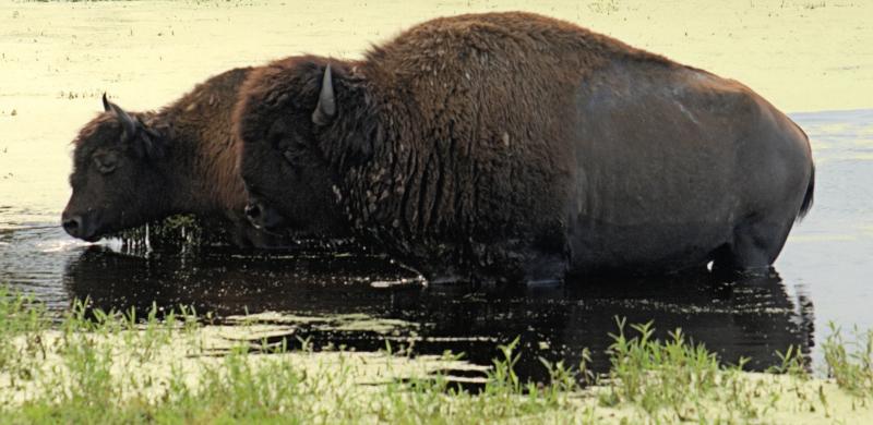08_21 river ranch water buffalos DSC06953 -1