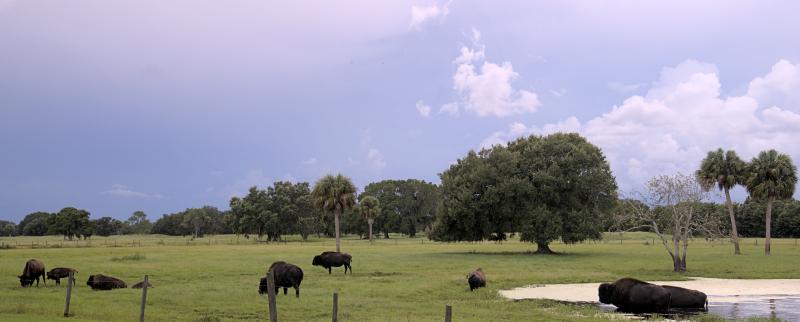 08_21 river ranch buffalo on a cloudy day DSC06972 -1