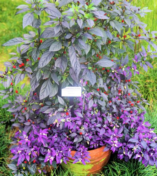 08_21 Bok Tower Purple Pepper DSC07001 -1