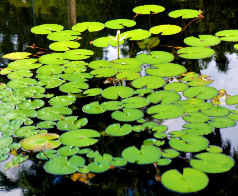 08_21 Bok Tower lily pads DSC07014 -1